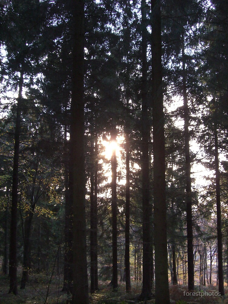 Sunlight through the pine trees by forestphotos