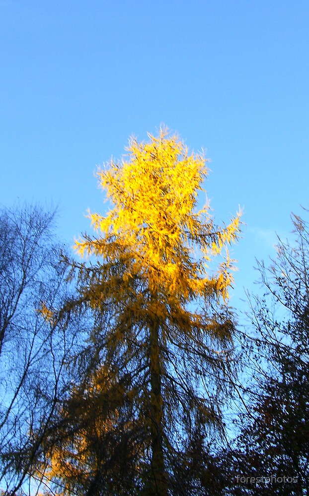 Gold Top Tree by forestphotos