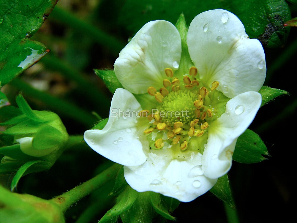 The Flower by Sharon Perrett