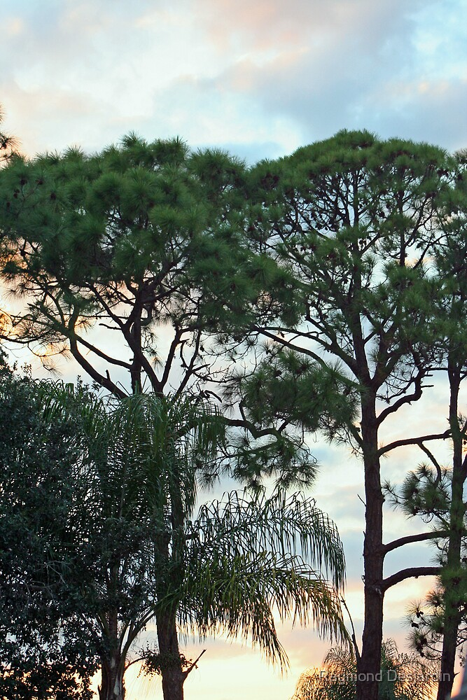 sunset through the pines and palm by Raymond Desjardin