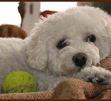 Bored Bichon by minnielee