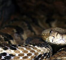 Timber Rattlesnake by Douglas McPherson