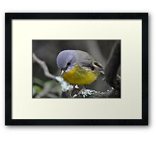 Eastern Yellow Robin - Focused Framed Print