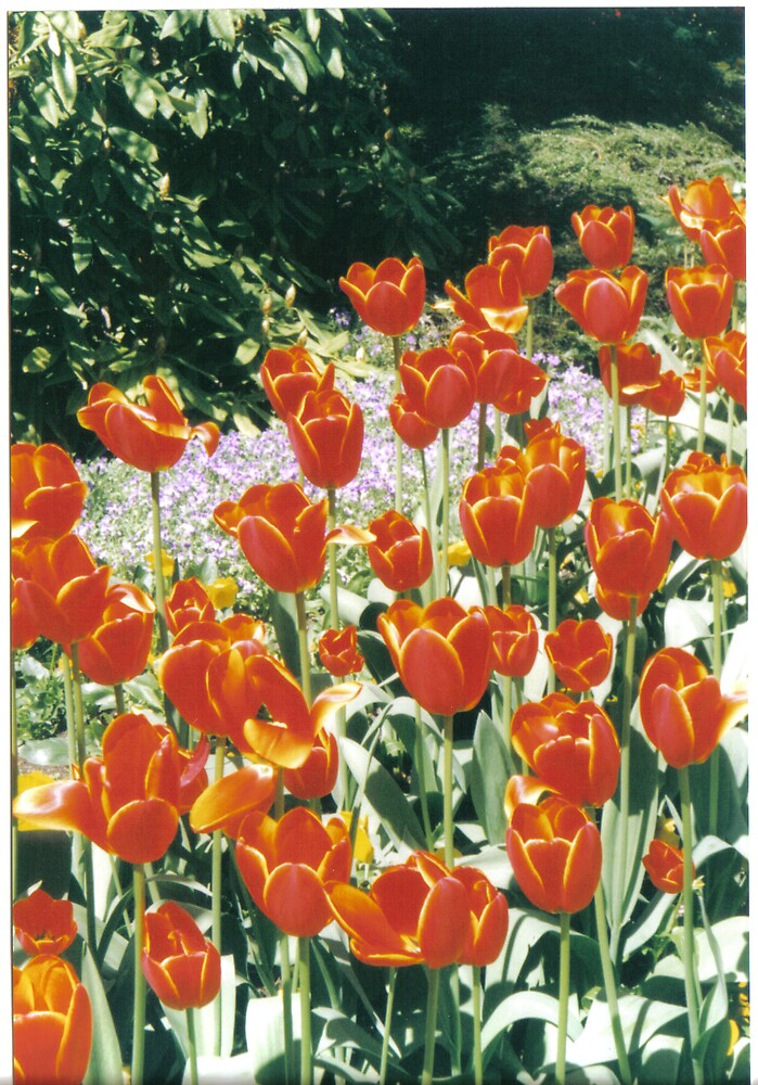 Tulips by clairet