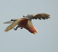 Galah by Wildpix