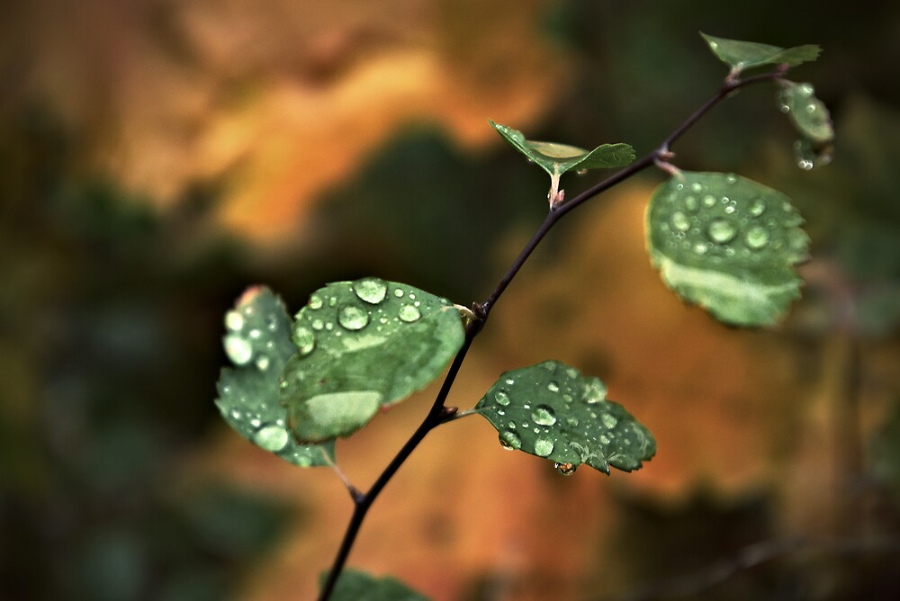 Drops on leaves by John Roshka