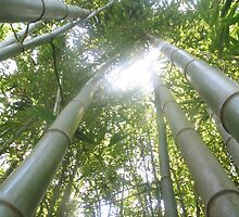 Bamboo by Jess Hall
