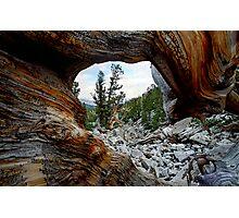 Bristle Cone Pine Wave Photographic Print