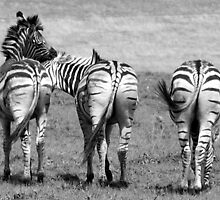 Playful Zebra   by Louw Agenbag
