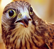 Lanner Falcon After a Tasty Meal by kitlew