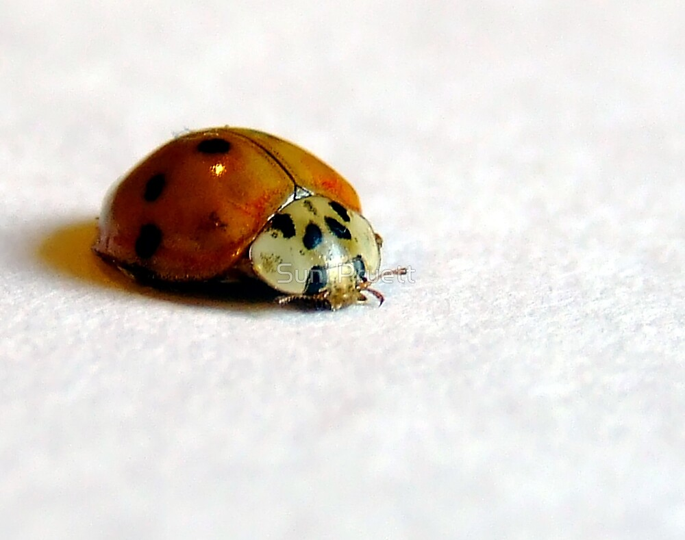 Big Buggie buggie by Suni Pruett