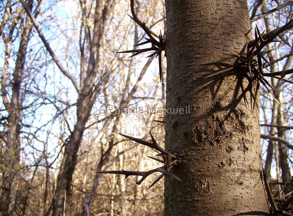 Thorns on a tree by Pamela Maxwell