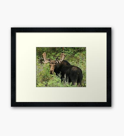 East Canyon Moose Framed Print