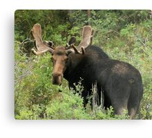 East Canyon Moose Metal Print