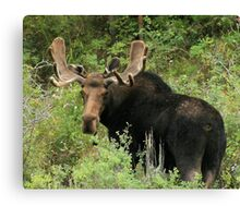 East Canyon Moose Canvas Print