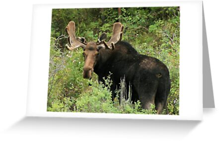 East Canyon Moose by Gene Praag