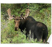 East Canyon Moose Poster