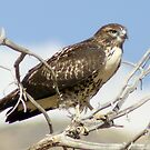 The Hawk by Gene Praag
