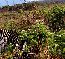 Zebras by lebeccio
