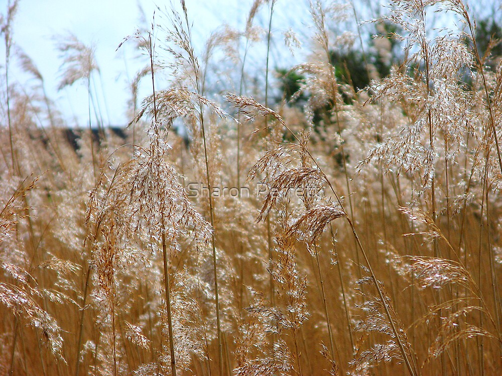 Fields of Gold by Sharon Perrett