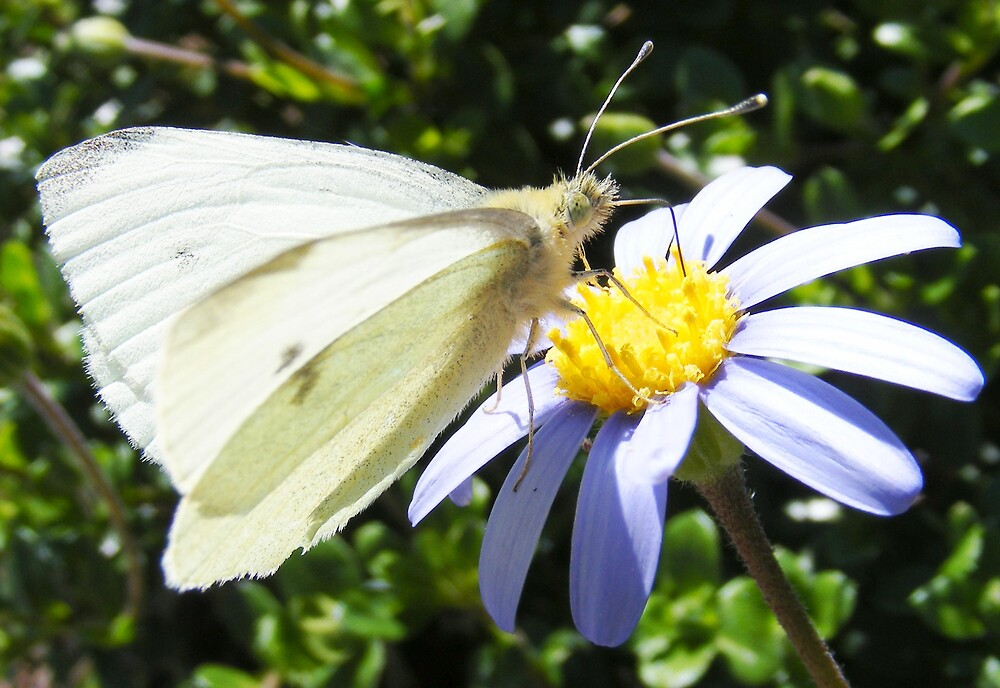 White butterfly by terryk