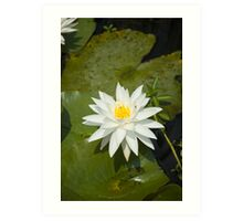 White Lilly Art Print