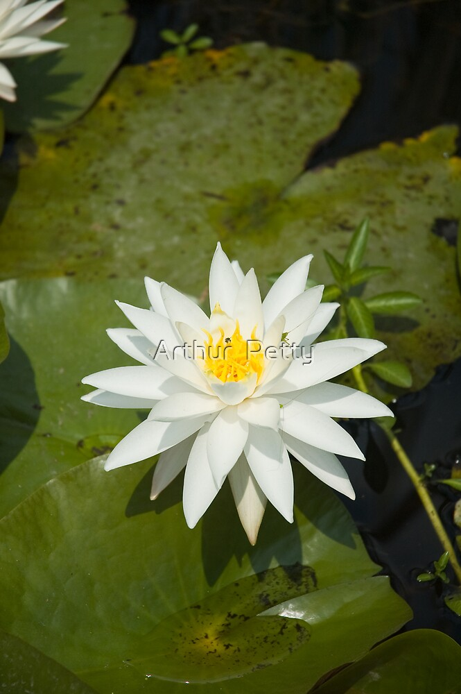 "White Lilly by Arthur ""Butch"" Petty"