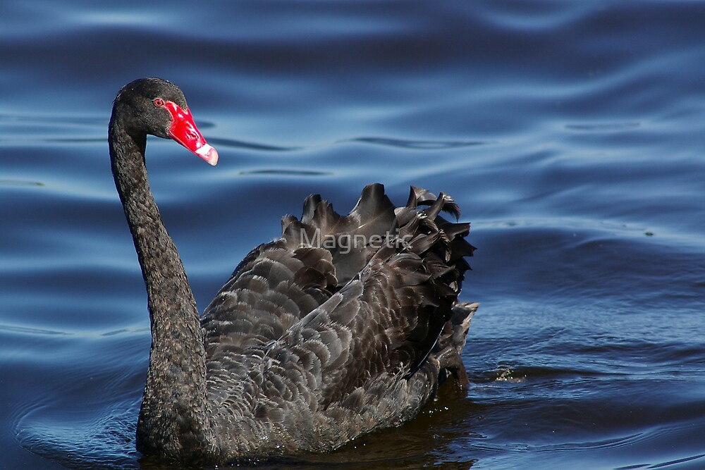 Black Swan by Magnetic