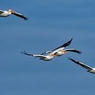 White Pelicans Approaching by TJ Baccari Photography