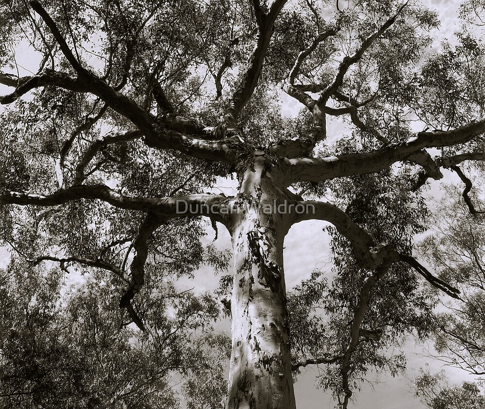 Mighty eucalypt by Duncan Waldron