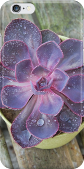 Purple Echeveria by 416studios