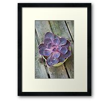 Succulent - Purple Echeveria  Framed Print