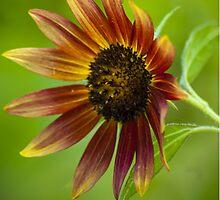 Orange Sunflower by BLaskowsky