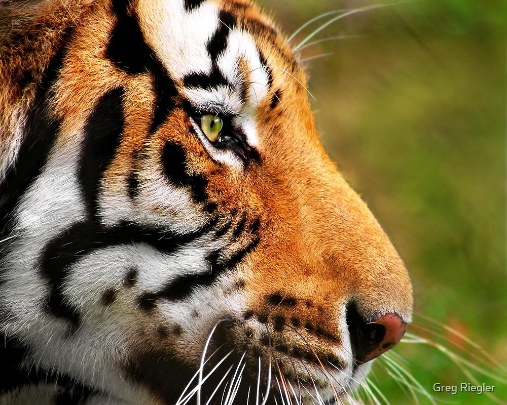 Panthera Tigris by Greg Riegler