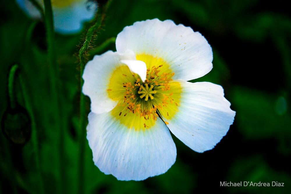 White Beauty by Michael D'Andrea Diaz