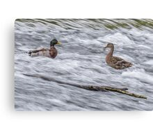 White Water Mallard -The Offering Canvas Print