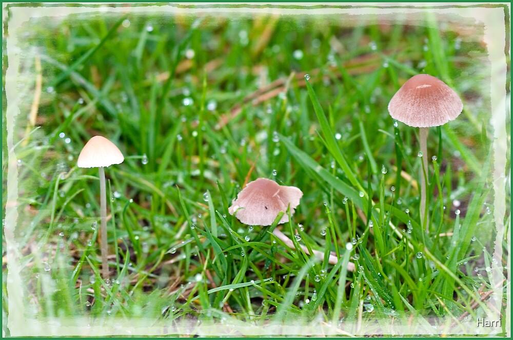 Mushrooms in the dew by Harri