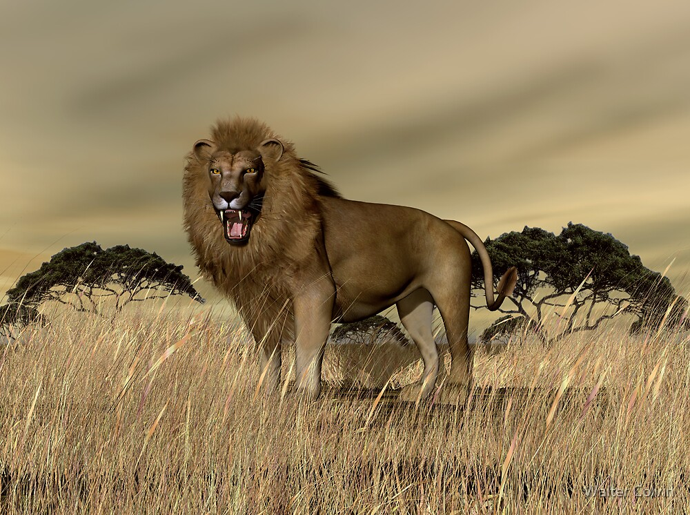 African Lion by Walter Colvin