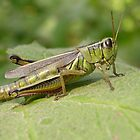 Grasshopper by Michelle Jarvie
