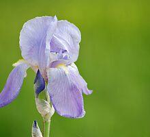 Purple Iris by Toni Herkalo