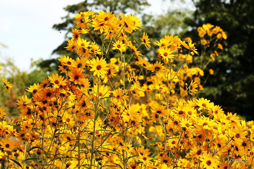 Sun Flower Field by organic