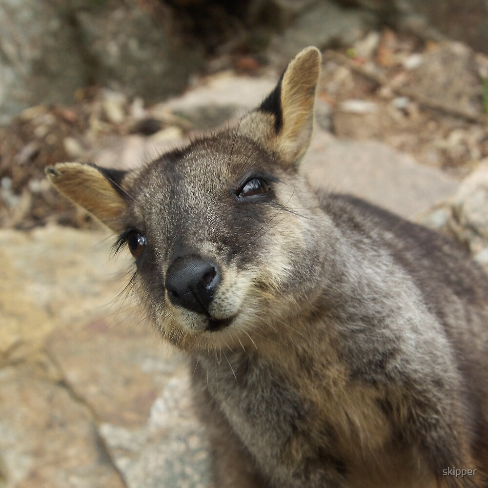Brush Tailed Wallaby by skipper