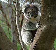 koala by skipper