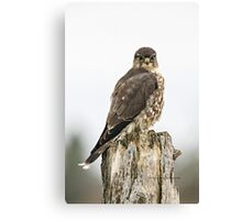 Merlin on a Fence Post Canvas Print