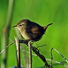 Wren by Russell Couch