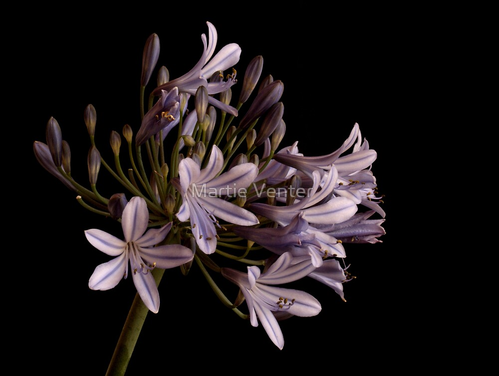 Blue Agapanthus by Martie Venter