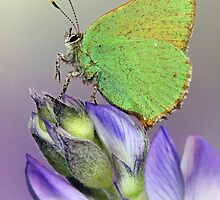 Green Hairstreak by jimmy hoffman