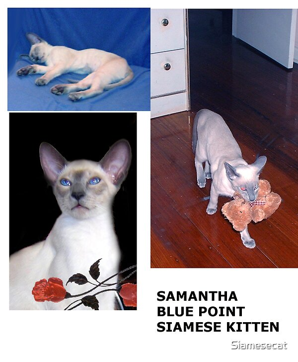 Samantha Blue Point Siamse kitten. by Siamesecat