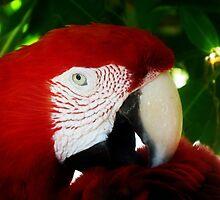 Macaw by Dan Perez