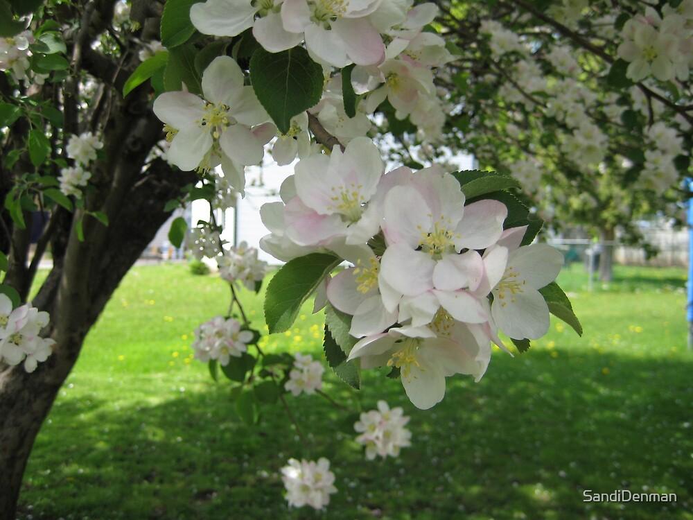 Apple Blossoms by SandiDenman